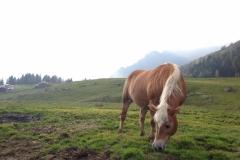 Cavallo al pascolo